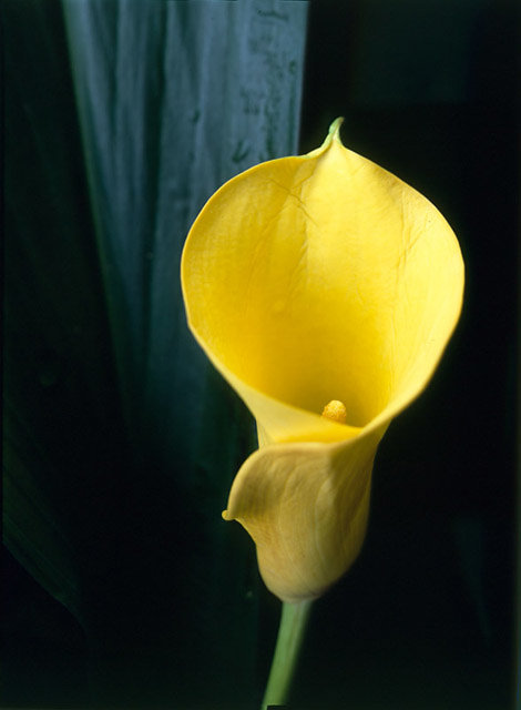 calla-color.jpg